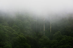 Rainforest on a foggy morning. Dense rainforest on a foggy morning with tall trees and atmospheric haze Royalty Free Stock Photography