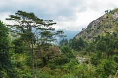 Rainforest against a mountain background. Rainforest at the foothills of the Rwenzori Mountains, Uganda royalty free stock photo