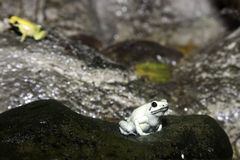 Rainforest Frog Stock Photography