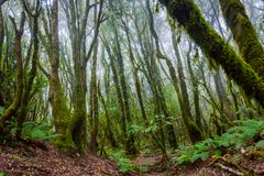 Rainforest, La Gomera. Green and mossy rainforest of La Gomera, Canary islands stock photos