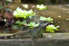 Rainforest Lizard Stock Photos