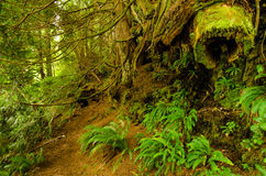 Rainforest. The lush growth of colorful ferns is a contrast with the rotting timbers covered by moss in the town of Bamfield on Vancouver Island, British Stock Photography