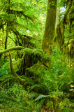 Rainforest. Lush growth of moss and ferns can be seen among aging trees in the temperate rainforest in Cathedral Grove in MacMillan Park on Vancouver Island Royalty Free Stock Image