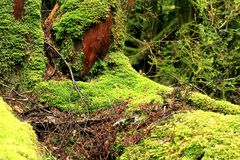 Rainforest Moss Stock Images