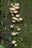 Rainforest mushrooms. Wild mushrooms growing on the trunk of a tree in the rainforest Stock Image