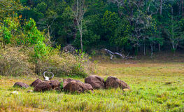 Rainforest National park Periyar Wildlife Sancturary. Gaur (Indi. An bison) skull with horns and bones, Kumily, Kerala, India Stock Photos