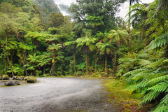 Rainforest, New Zealand. Rainforest with endemic tree ferns. The West Coast of the South Island, New Zealand Royalty Free Stock Photography