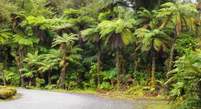Rainforest, New Zealand. Rainforest with endemic tree-ferns. The West Coast of the South Island, New Zealand Royalty Free Stock Photos