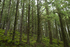 Rainforest in Oregon. Trees in Ecola State Park rainforest in Oregon Royalty Free Stock Photo