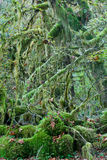 Rainforest of Pacific Northwest Royalty Free Stock Photo