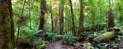 Rainforest Panorama. Panorama of a path through an Australian temperate rainforest, with lush treeferns, moss-covered logs, and myrtle beech trees royalty free stock photography