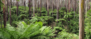 Rainforest Panorama. Mountain ash with tree ferns, Yarra Ranges National Park, Victoria, Australia Stock Photos