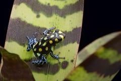 Rainforest Peru för groda för amasongiftpil Arkivfoton