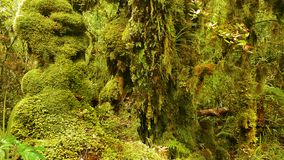 Rainforest, Olympic National Park, Washington. Rainforest and plants - Hall of Mosses at sunset. The Hoh Rainforest, Olympic National Park. Washington, U.S stock images