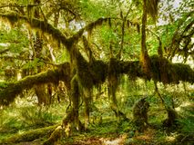 Rainforest, Rain forest. Rainforest and plants - a lush cool temperate rainforest with ferns and mossy trees stock photo
