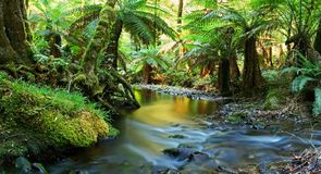 Rainforest River Panorama. A river flows softly through temperate rainforest in golden early morning light. Yarra Ranges, Victoria, Australia royalty free stock images