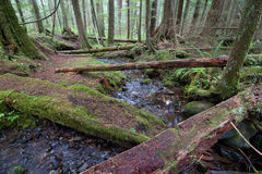 Rainforest Stream. Small stream in temperate rainforest of pacific northwest, olympic national park Stock Image
