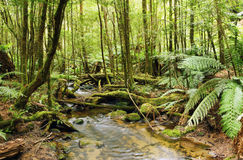 Rainforest Stream. Stream flowing softly through lush rainforest.  Moss-covered boulders, fallen trees and treeferns make for an unspoilt environment.  Yarra Stock Photo