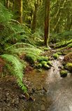Rainforest stream. A small creek flows through a coastal BC, Canada rainforest Stock Photography