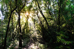 Rainforest with sunbeam at Doi Pha Hom Pok National Park in Chiang Mai, Thailand.  Royalty Free Stock Photos