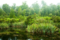 Rainforest swamp Royalty Free Stock Images