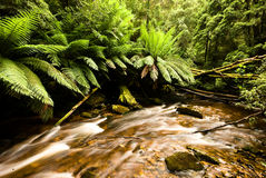 rainforest tasmania Royaltyfri Bild