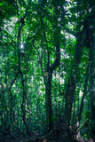 Rainforest. Thick forest growth in tropical El Yunque Rainforest Stock Image
