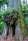 Rainforest Tree with Interesting Large Knotty Growth stock photos