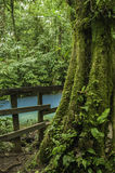 Rainforest Tree. Moss covered rainforest tree with the rio celeste flowing behind Stock Images