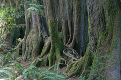 Rainforest Trees. Old trees growing in line on former nursing log, Hoh Rainforest, Olympic National Park, Washington Royalty Free Stock Images