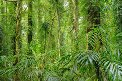 Rainforest trees. The beauty of the rainforest trees in dorrigo world heritage area Stock Photo