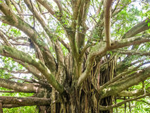 Trees of rainforest on Maui Stock Photos