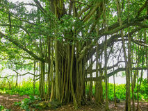 Rainforest trees in Maui, Hawaii Royalty Free Stock Photography