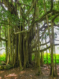 Trees of rainforest on Maui Royalty Free Stock Image