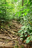 Rainforest Trek with Long Tree Roots royalty free stock photos