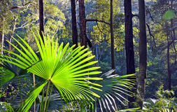 Rainforest under story. Light filtering through into rainforest understory of ferns, palms and vines with back lit Cabbage Tree Palms (Livistona australis Royalty Free Stock Photo