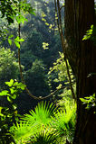 Rainforest understorey of vines and palms. Light filtering through into the rainforest understory of ferns, palms and vines, Royal National Park, Sydney, New Stock Images