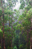 Rainforest view. Rainforest in the rain from the Tree Top Walk of Otway Fly up to 30 metres above ground level,Great Ocean Road, Australia Stock Photography