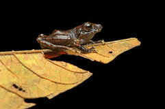 Rainfrog na liściu Zdjęcie Stock