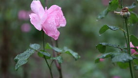 Raingdrops on a pink rose flower stock video footage