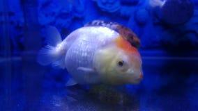 Rainha branca dos peixes dourados imagem de stock