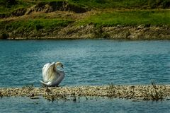 Rainha da beleza da cisne que estica as asas Foto de Stock Royalty Free