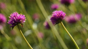 Rainha da flor Fotos de Stock