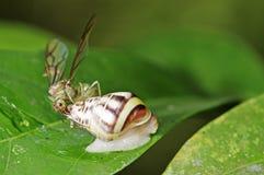 Rainha da formiga do tecelão e caracol de terra Imagem de Stock Royalty Free