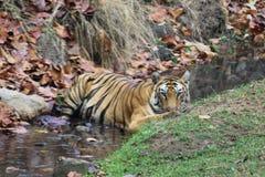 Rainha da selva, tigre fêmea foto de stock royalty free