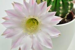 Rainha do cacto da noite com flor Foto de Stock Royalty Free