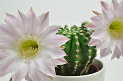 Rainha do cacto da noite com flor Fotos de Stock