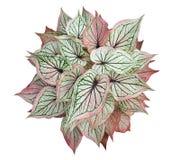 Rainha do Caladium do isolado frondoso da opinião superior das plantas no fundo branco ilustração stock