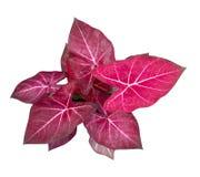 Rainha do Caladium do isolado frondoso da opinião superior das plantas no fundo branco fotos de stock royalty free