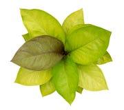 Rainha do Caladium do isolado frondoso da opinião superior das plantas no fundo branco imagens de stock royalty free